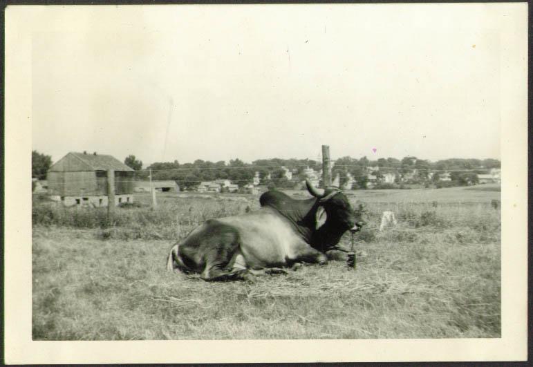 Brahma Bull Russell Bros Circus photo Rutland VT 1941