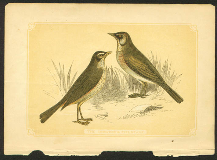 Redwing & Fieldfare 1840s colored bird lithograph