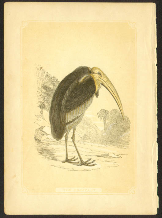 Adjutant Bird stork 1840s colored bird lithograph