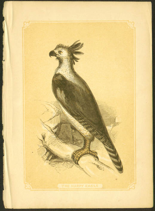 Harpy Eagle 1840s colored bird lithograph