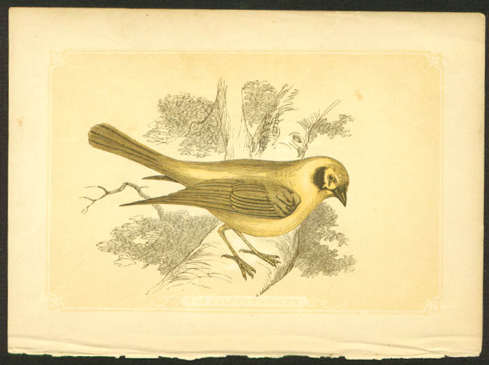 Golden Tanager 1840s colored bird lithograph