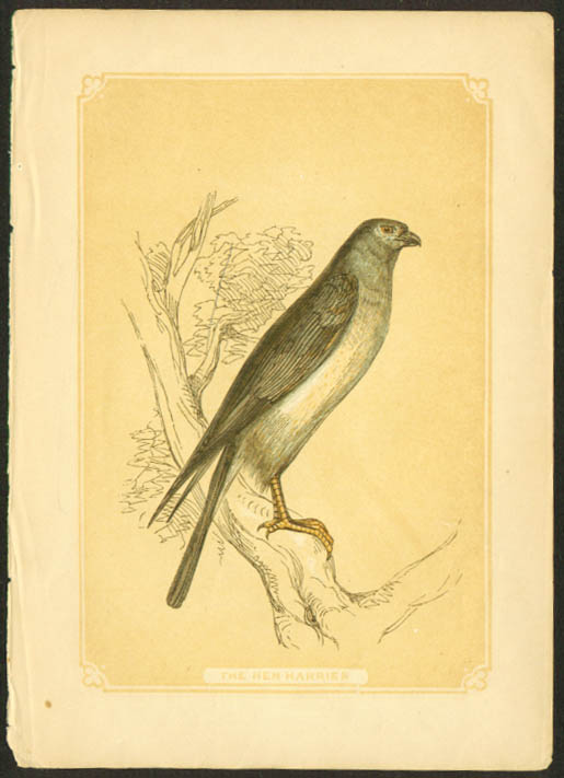 Hen Harrier 1840s colored bird lithograph