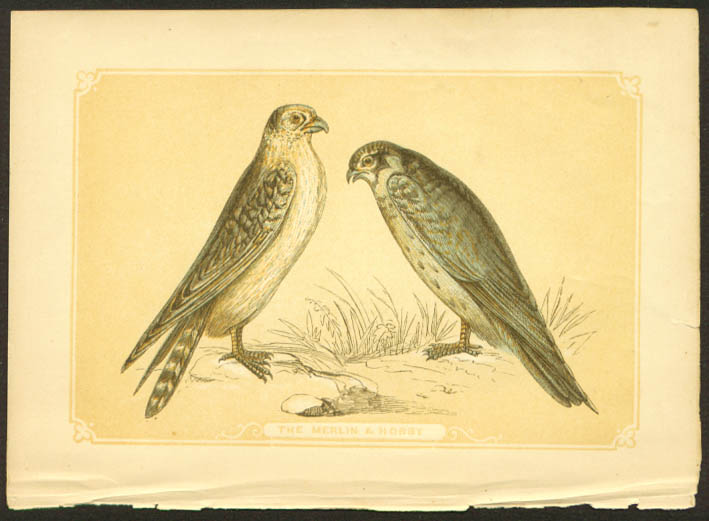 Merlin & Hobby Falcon 1840s colored bird lithograph