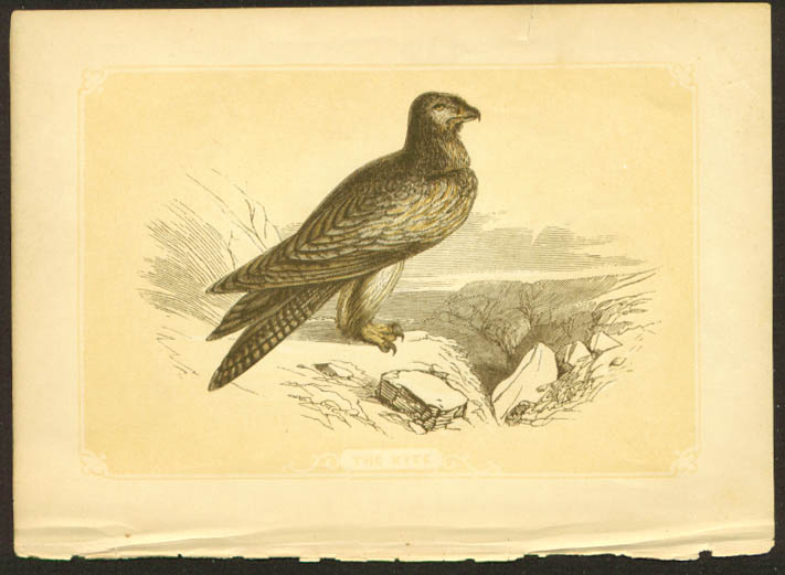 Black Kite 1840s colored bird lithograph