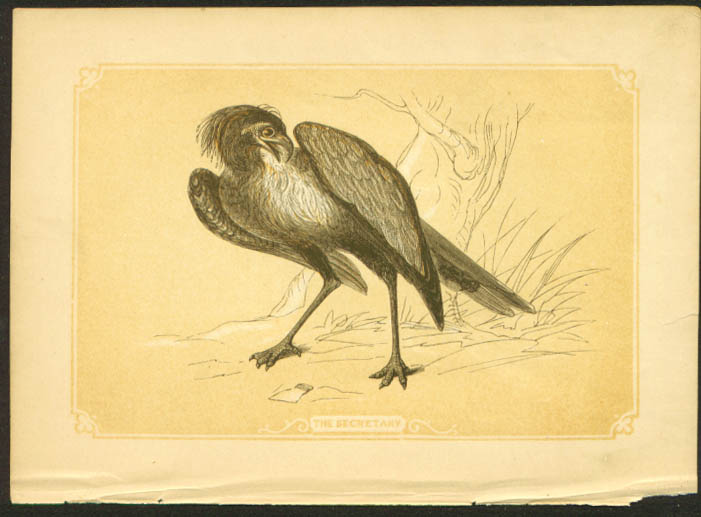 Secretary Bird 1840s colored bird lithograph