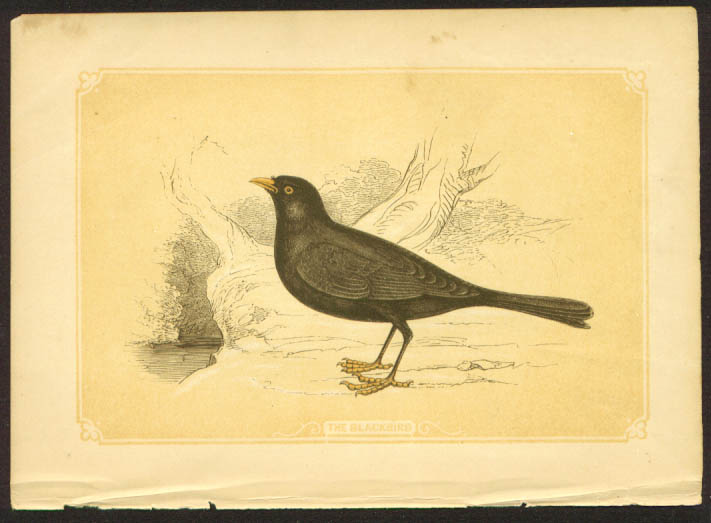 Blackbird 1840s colored bird lithograph