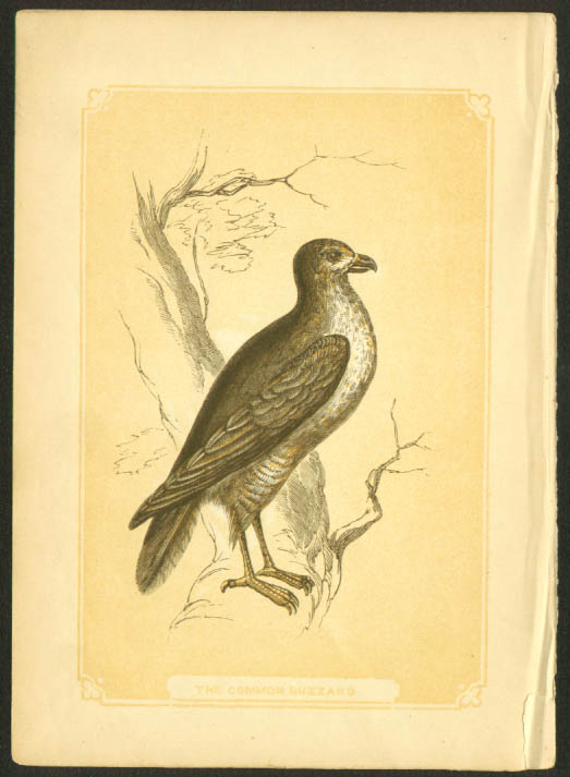Common Buzzard 1840s colored bird lithograph