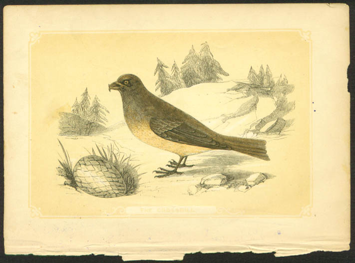Crossbill 1840s colored bird lithograph