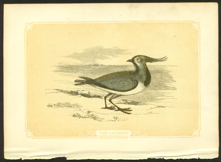 Lapwing 1840s colored bird lithograph