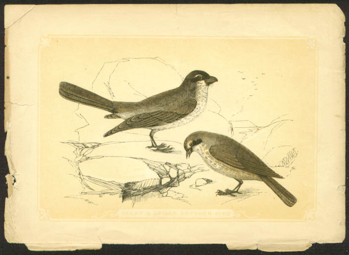 Great & Lesser Butcher Bird 1840s color bird lithograph
