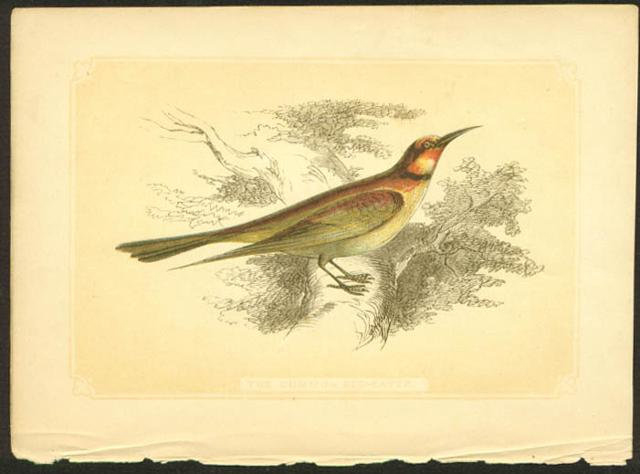Common Bee-Eater 1840s colored bird lithograph
