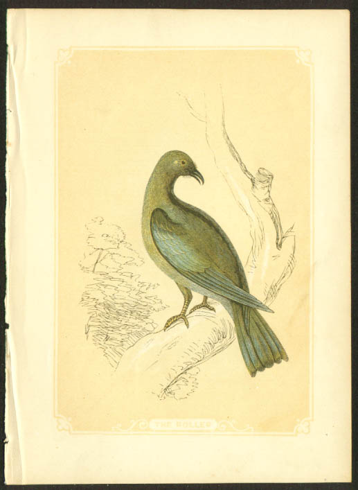 Roller Bird 1840s colored bird lithograph