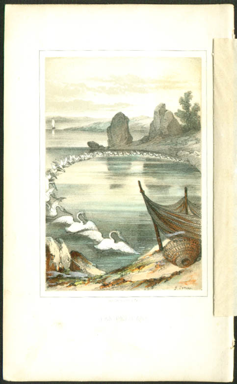 Pelicans fishnets 1850s colored bird engraving Sorrieu