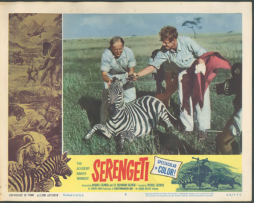 Image for Ear tagging a zebra in Serengeti lobby card 1960