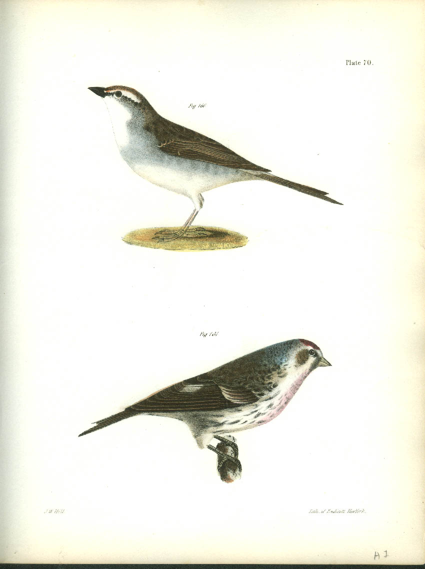 J W Hill hand-colored print 1844 Chip-bird & Lesser Redpoll