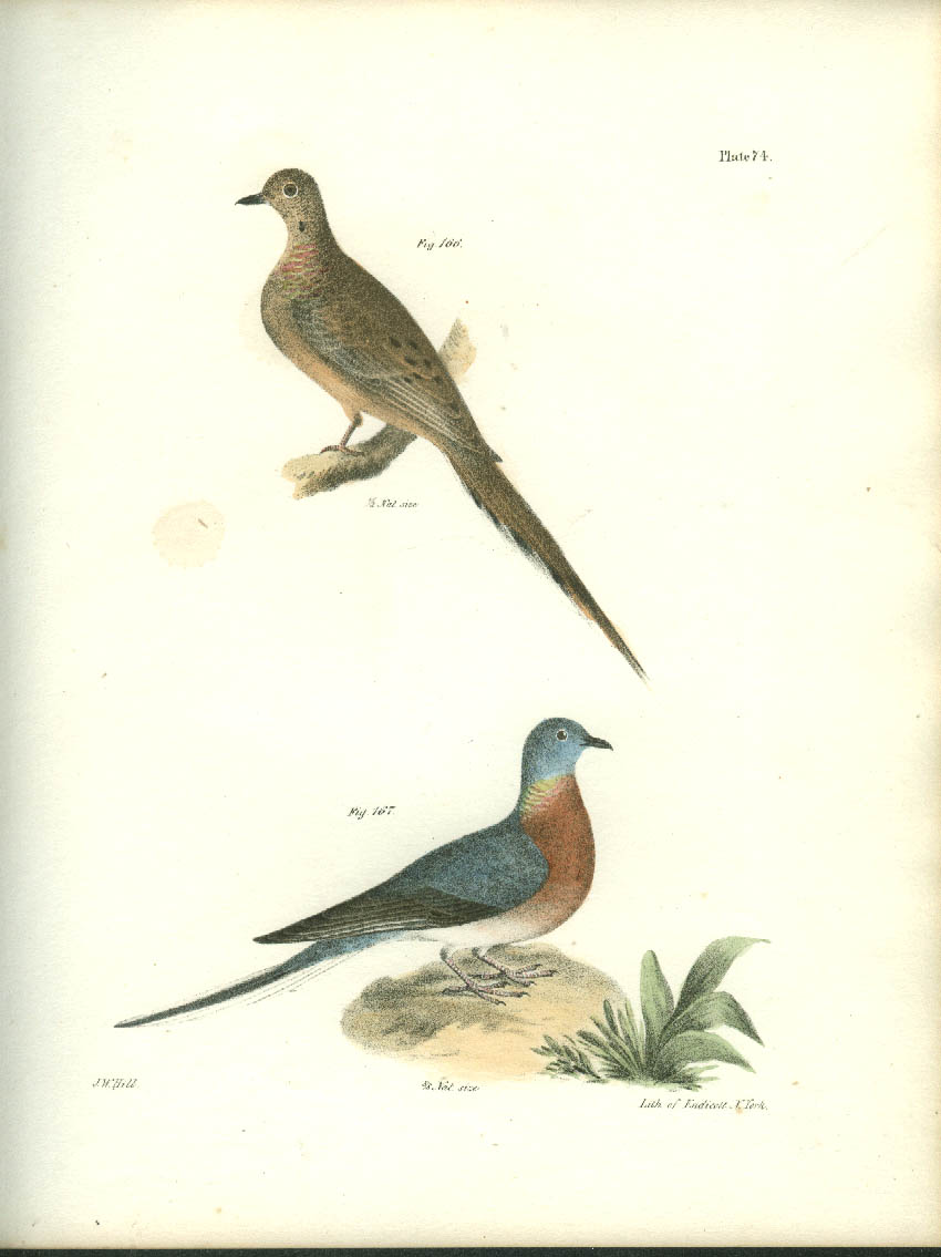 J W Hill hand-colored print 1844 Mourning Dove & Wild Passenger Pigeon