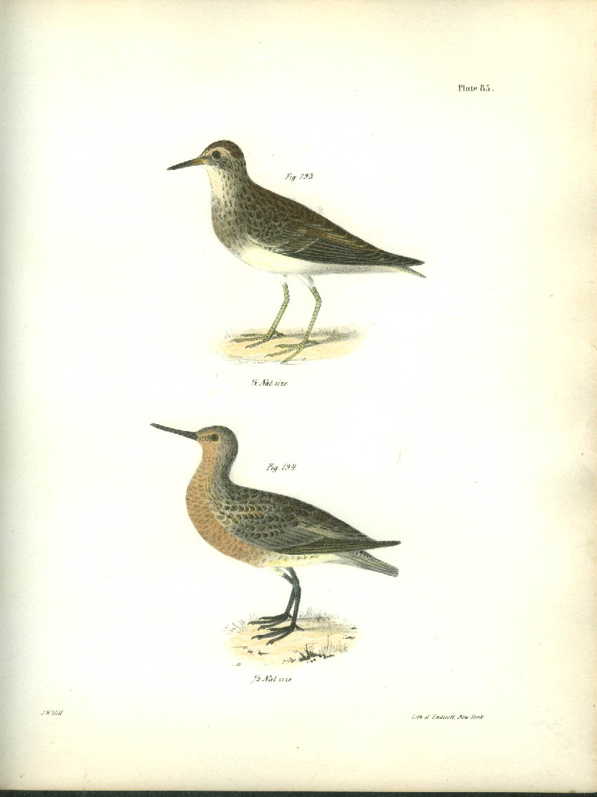 J W Hill hand-colored print 1844 Pectoral Sandpiper & Red-breaster Sandpiper