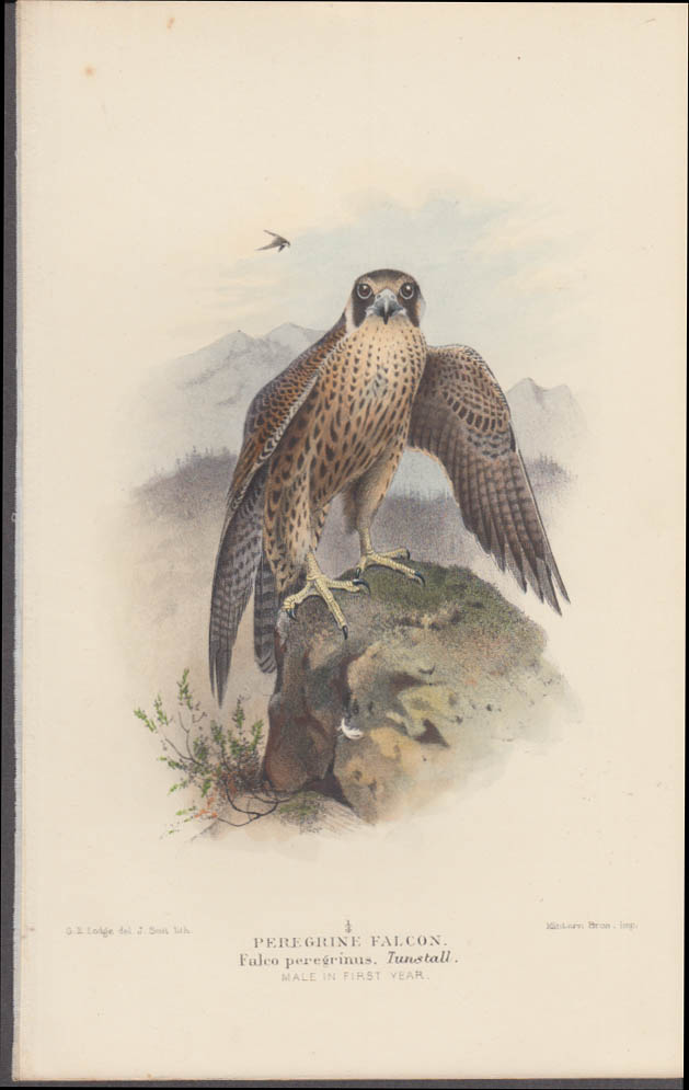 G E Lodge chromolithograph print Peregrine Falcon ca 1915