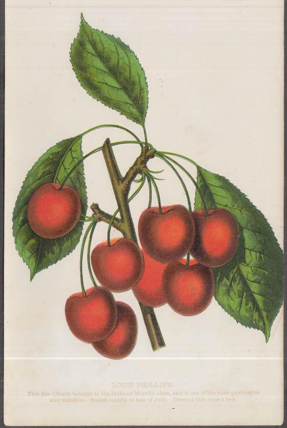 Stecher chromolithograph fruit plate 1880s: Louis Phillipe Cherry
