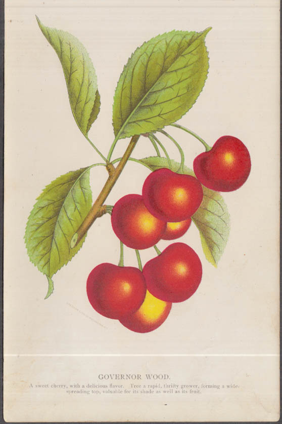 Stecher chromolithograph fruit plate 1880s: Governor Wood Cherry