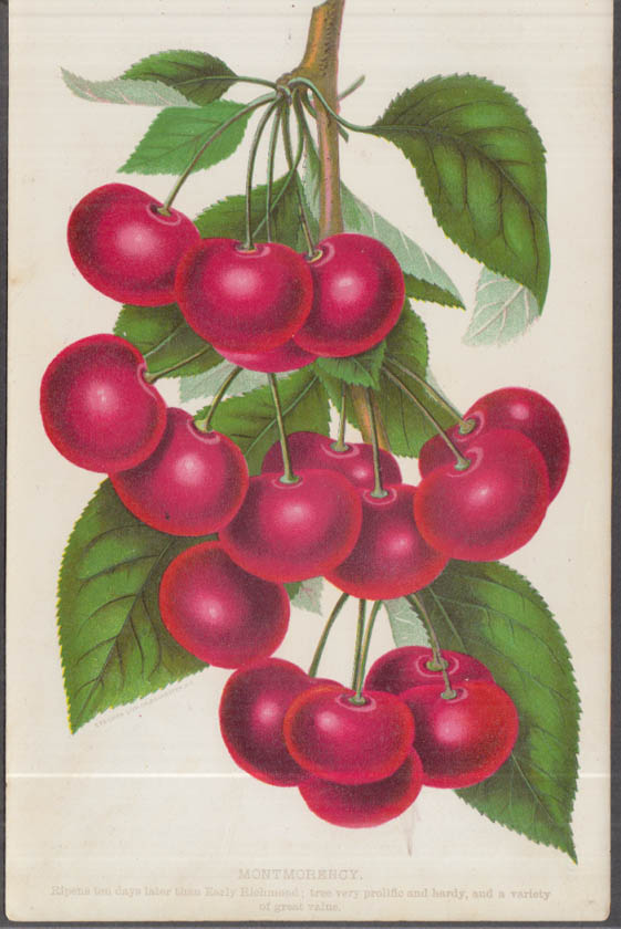 Stecher chromolithograph fruit plate 1880s: Montmorency Cherry