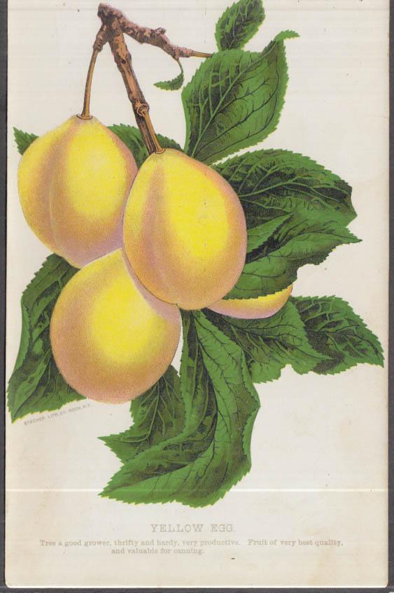 Stecher chromolithograph fruit plate 1880s: Yellow Egg Plum