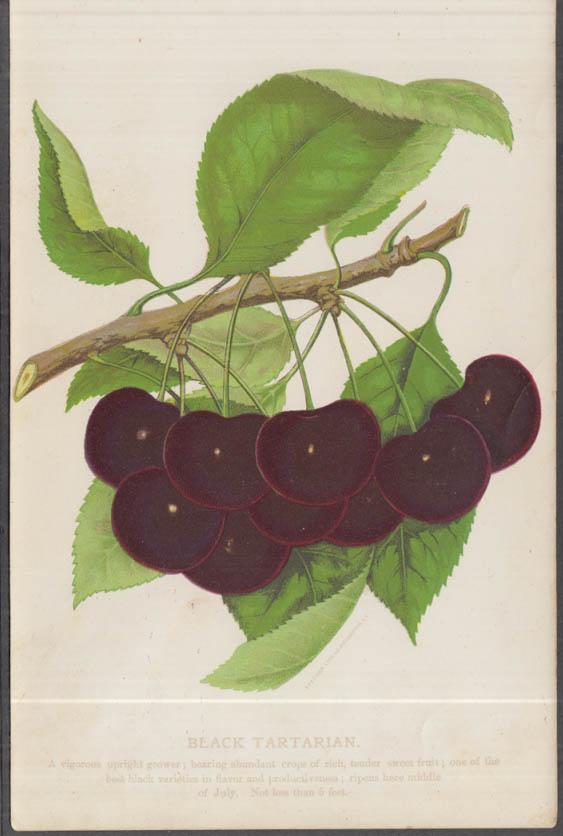 Stecher chromolithograph fruit plate 1880s: Black Tartarian Cherry