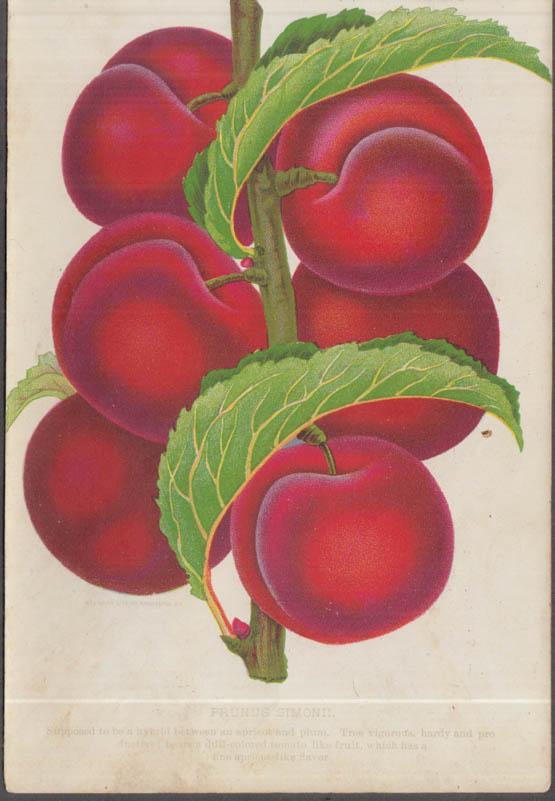 Stecher chromolithograph fruit plate 1880s: Prunus Simonii Plum Apricot hybrid
