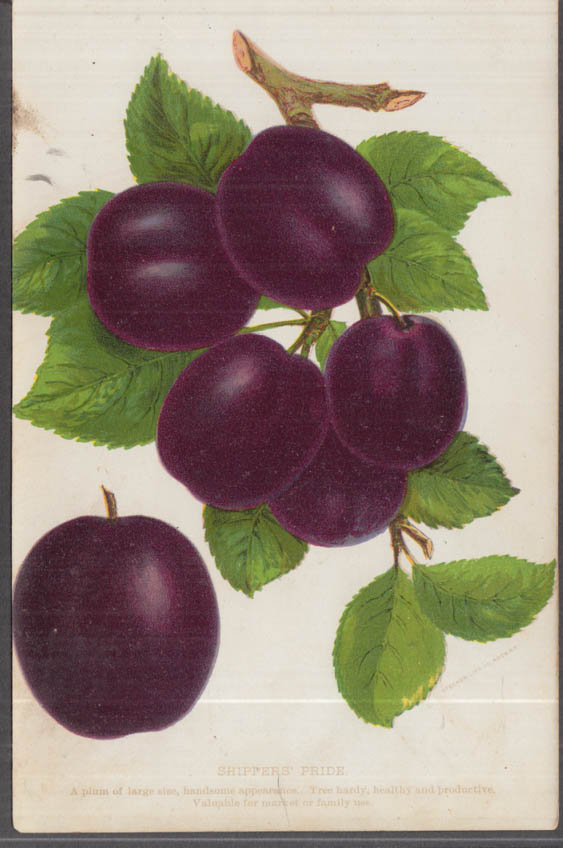 Stecher chromolithograph fruit plate 1880s: Shipper's Pride Plum