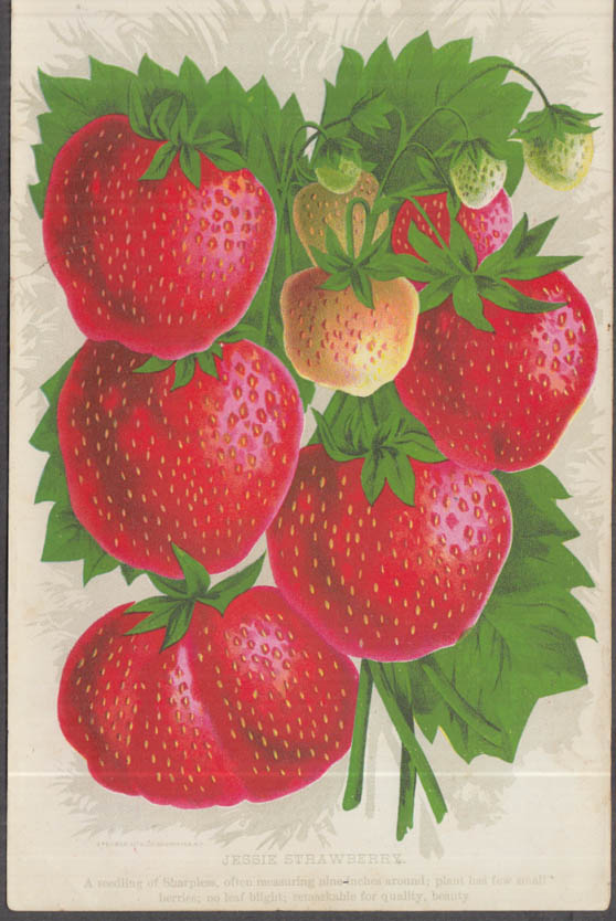 Stecher chromolithograph fruit plate 1880s: Jessie Strawberry