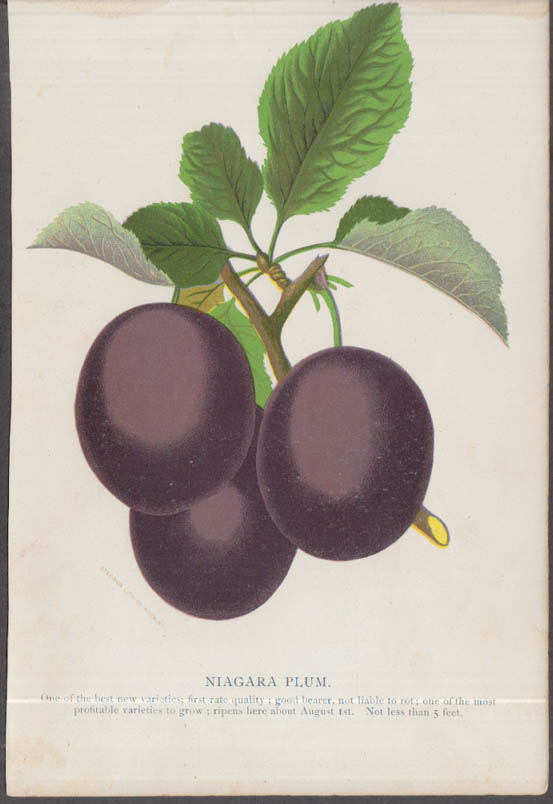 Stecher chromolithograph fruit plate 1880s: Niagara Plum
