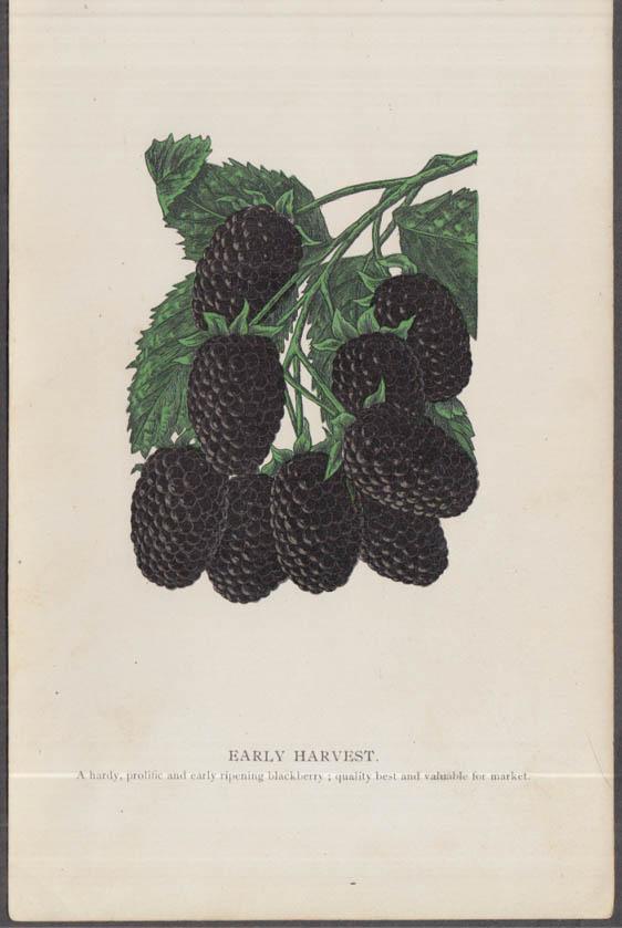 Stecher chromolithograph fruit plate 1880s: Early Harvest Blackberry