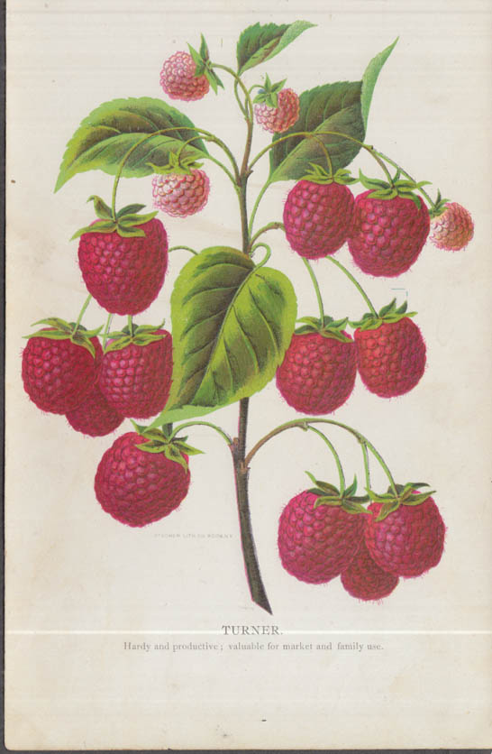 Stecher chromolithograph fruit plate 1880s: Turner Raspberry