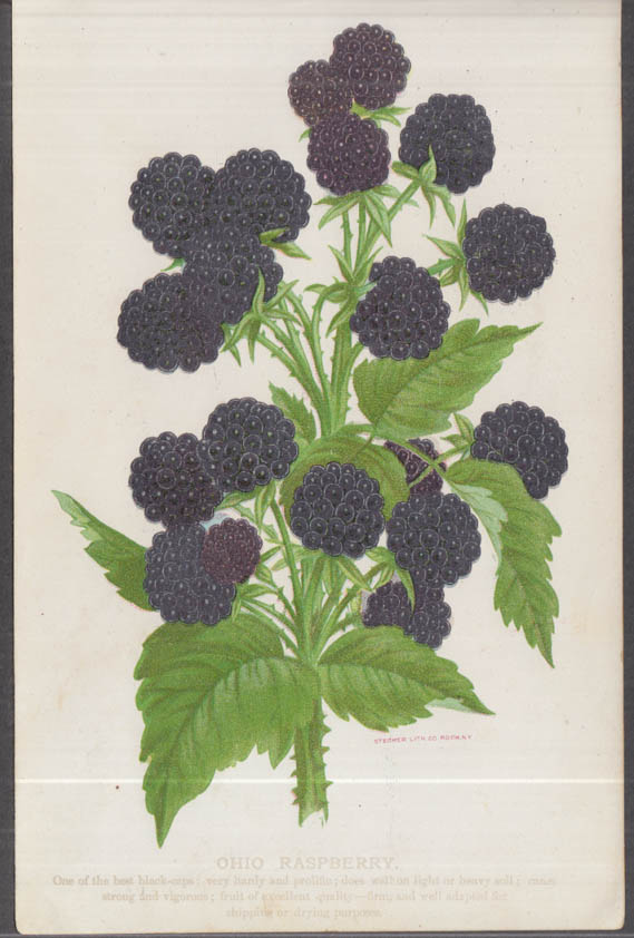 Stecher chromolithograph fruit plate 1880s: Ohio Raspberry