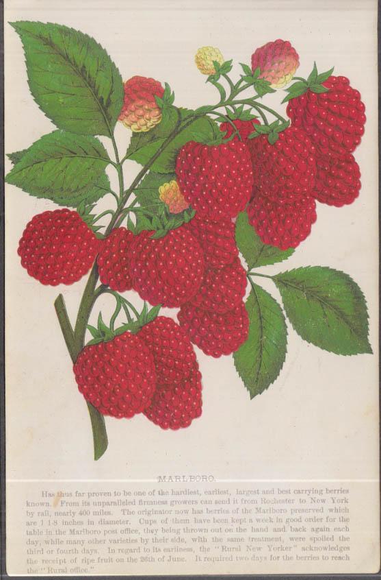Stecher chromolithograph fruit plate 1880s: Marlboro Raspberry