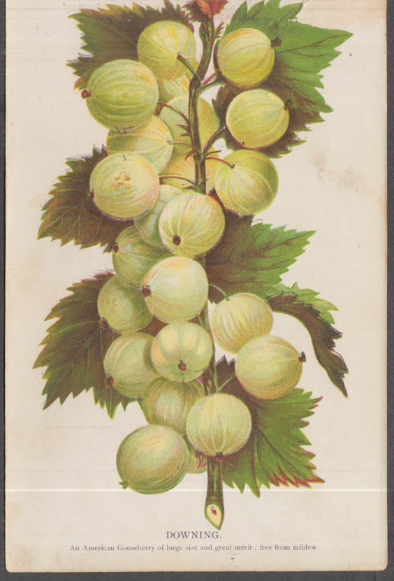 Stecher chromolithograph fruit plate 1880s: Downing Gooseberry