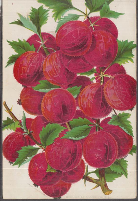 Stecher chromolithograph fruit plate 1880s: Industry Gooseberry