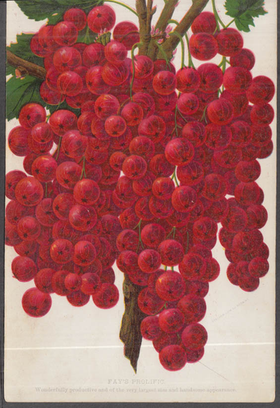 Stecher chromolithograph fruit plate 1880s: Fay's Prolific Currant