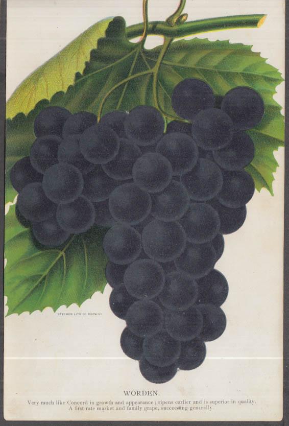 Stecher chromolithograph fruit plate 1880s: Worden Grape
