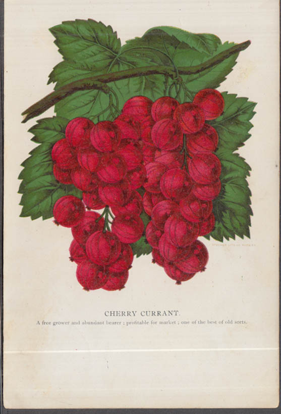 Stecher chromolithograph fruit plate 1880s: Cherry Currant