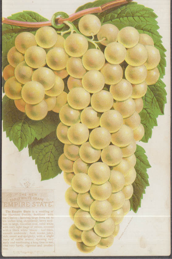Stecher chromolithograph fruit plate 1880s: New Early White Empire State Grape