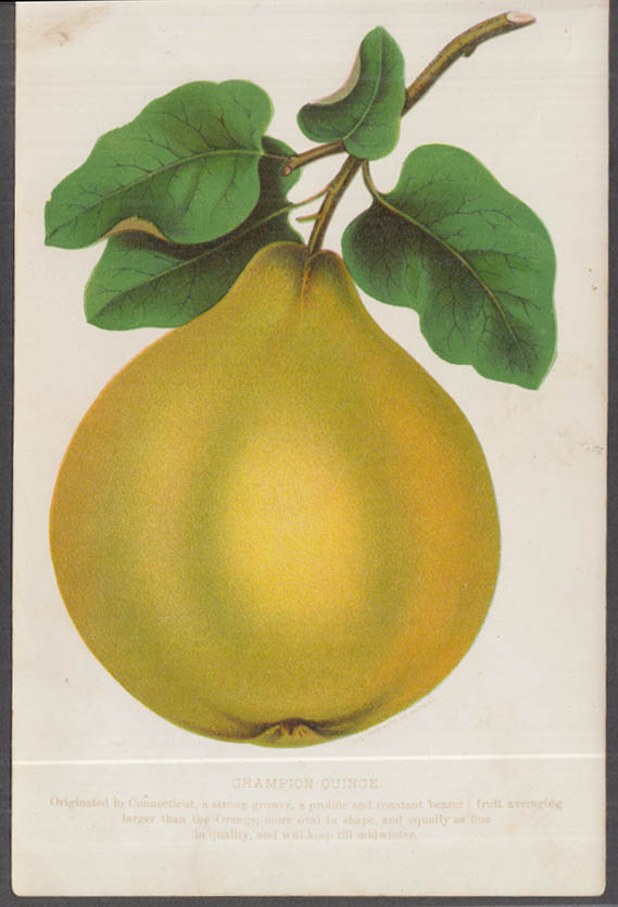 Stecher chromolithograph fruit plate 1880s: Champion Quince