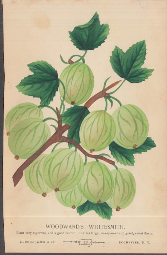 M Brunswick chromolithograph plate 1880s: Woodward's Whitesmith Gooseberry