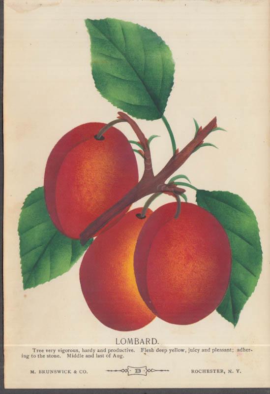 M Brunswick chromolithograph fruit plate 1880s: Lombard Prune Plum