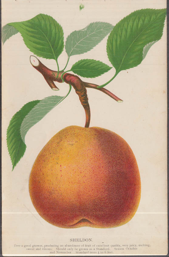 Stecher chromolithograph fruit plate 1880s: Sheldon Pear