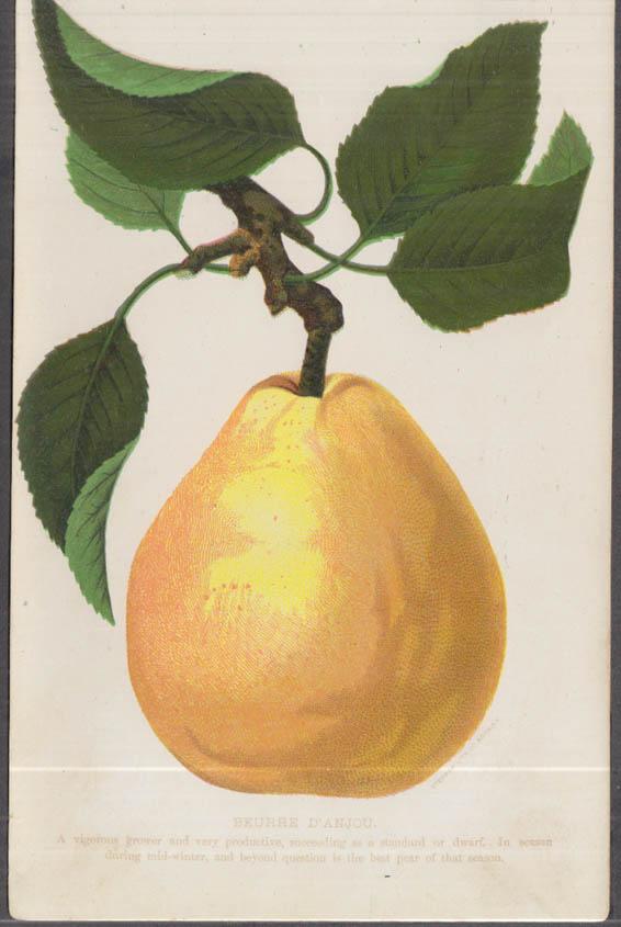 Stecher chromolithograph fruit plate 1880s: Beurre D'Anjou Pear