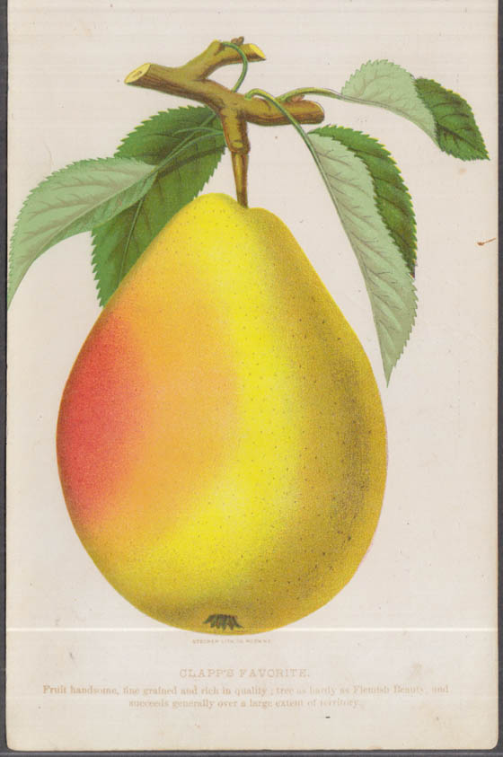 Stecher chromolithograph fruit plate 1880s: Clapp's Favorite Pear
