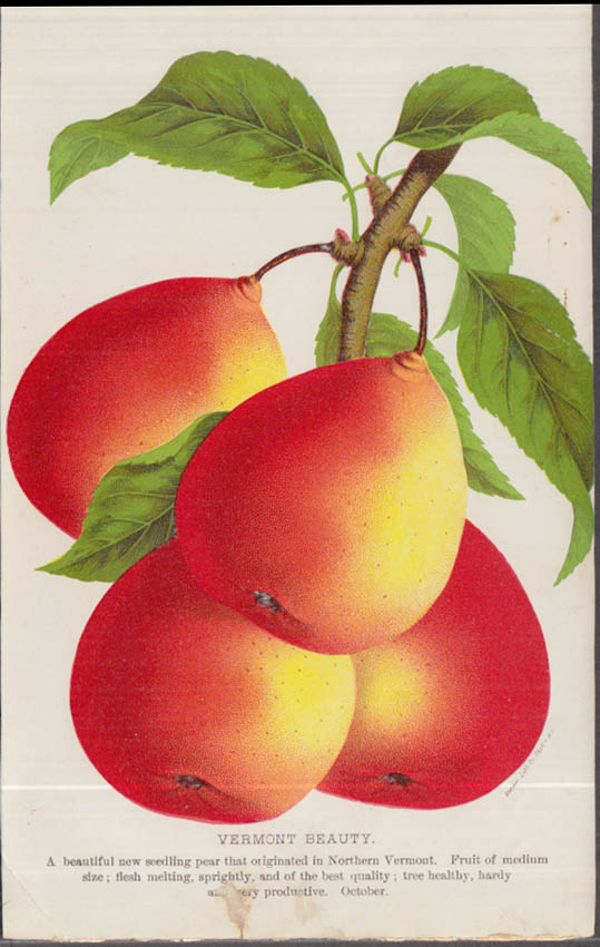 Stecher chromolithograph fruit plate 1880s: Vermont Beauty Pear