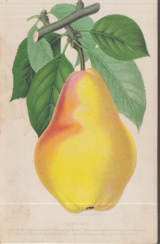 Stecher chromolithograph fruit plate 1880s: Bartlett Pear