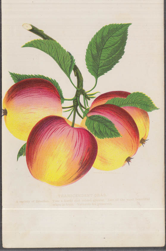 Stecher chromolithograph fruit plate 1880s: Transcendent Crab Apple